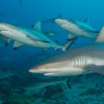 Gallery: 300-pound sharks swarm Florida photographer