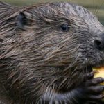 Beavers' biodiversity benefits highlighted in new study