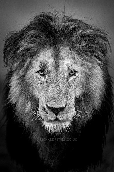 @RichardpPhoto: Hunter. Having a lion look straight down the barrel of your lens is always a magical experience. https://t.co/IshiELAJMO
