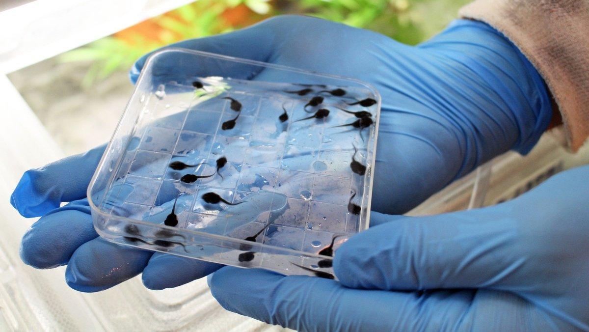 Henry Doorly Zoo & Aquarium sends thousands of endangered tadpoles to Puerto Rico