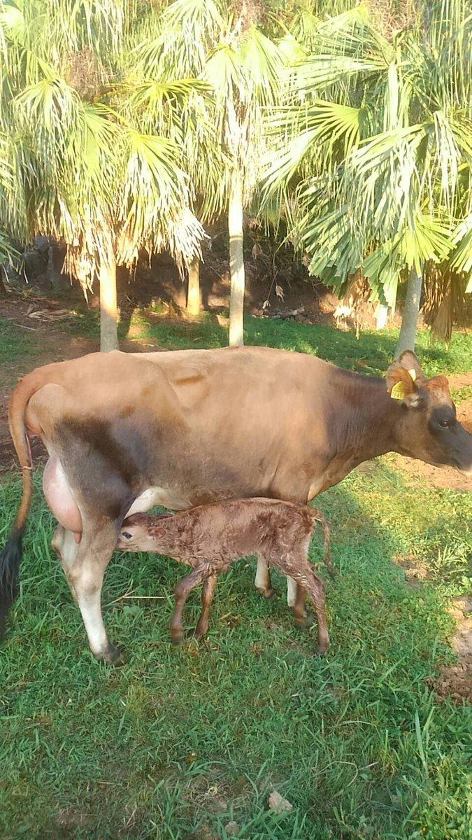 おはようございます。シャーロットが男の子を出産しました!(牧場スタッフからの報告) #八丈島 #ゆーゆー牧場 #牧場 #