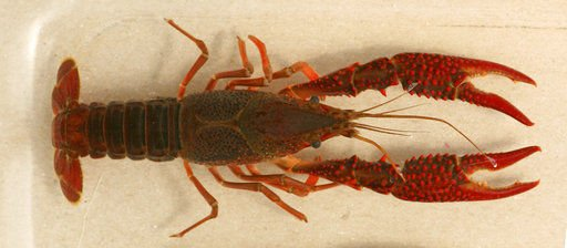 Invasive red swamp crayfish discovered in southern Michigan