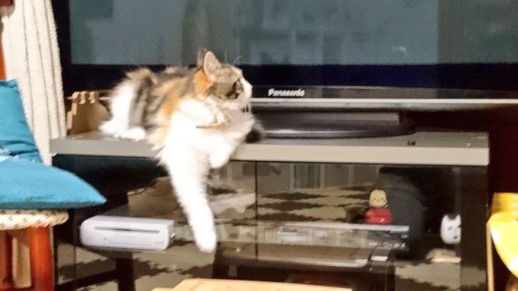 今夜のこはるはPanasonic推し😂#猫 #子猫 #メインクーン#猫好きさんと繋がりたい #我が家のテレビは #Pan