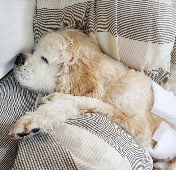 なんかスヌーピーみたいな顔して寝てる。  #秘密結社老犬倶楽部