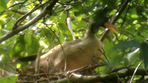 Researchers in Cambodia find nest of rare riverine bird