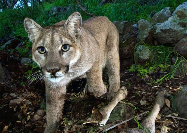 8 things to know about cougars -- and sightings -- in Oregon
