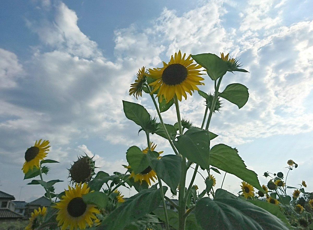 向日葵。連日の暑さで盛りを過ぎている株も…。今日はコントラストがあまり強くないのが残念。ひまわりははっきりした色が似合う