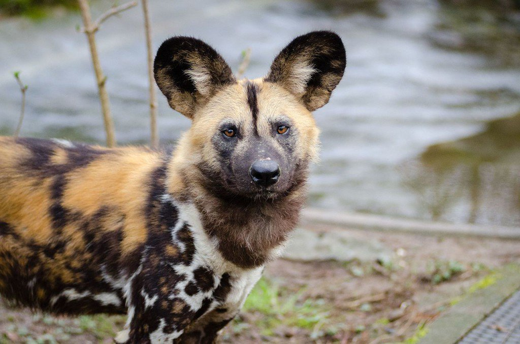 African Wild Dogs Can't Take The Heat, Face Extinction From Climate Change