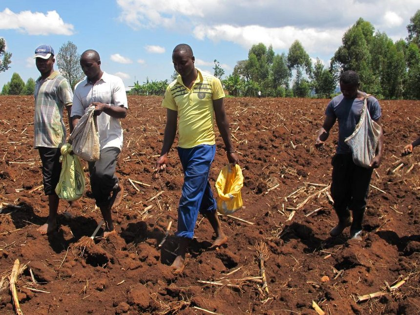 Armyworm gobble up 500k bags of maize in Trans Nzoia harvest