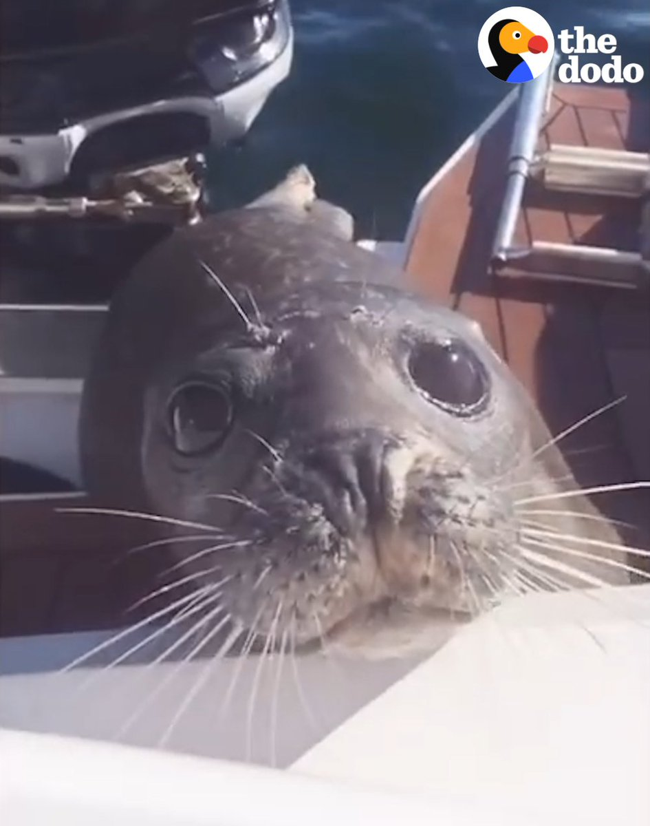 This brave little seal was being chased by 12 hungry orcas — so he climbed on to this family's boat to get help.