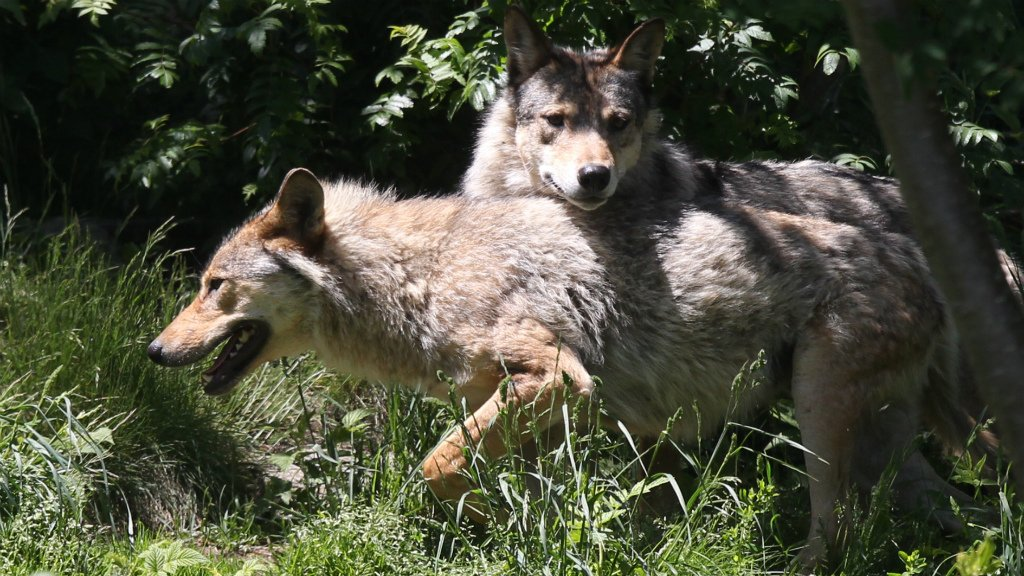 France to cull wolves to save sheep