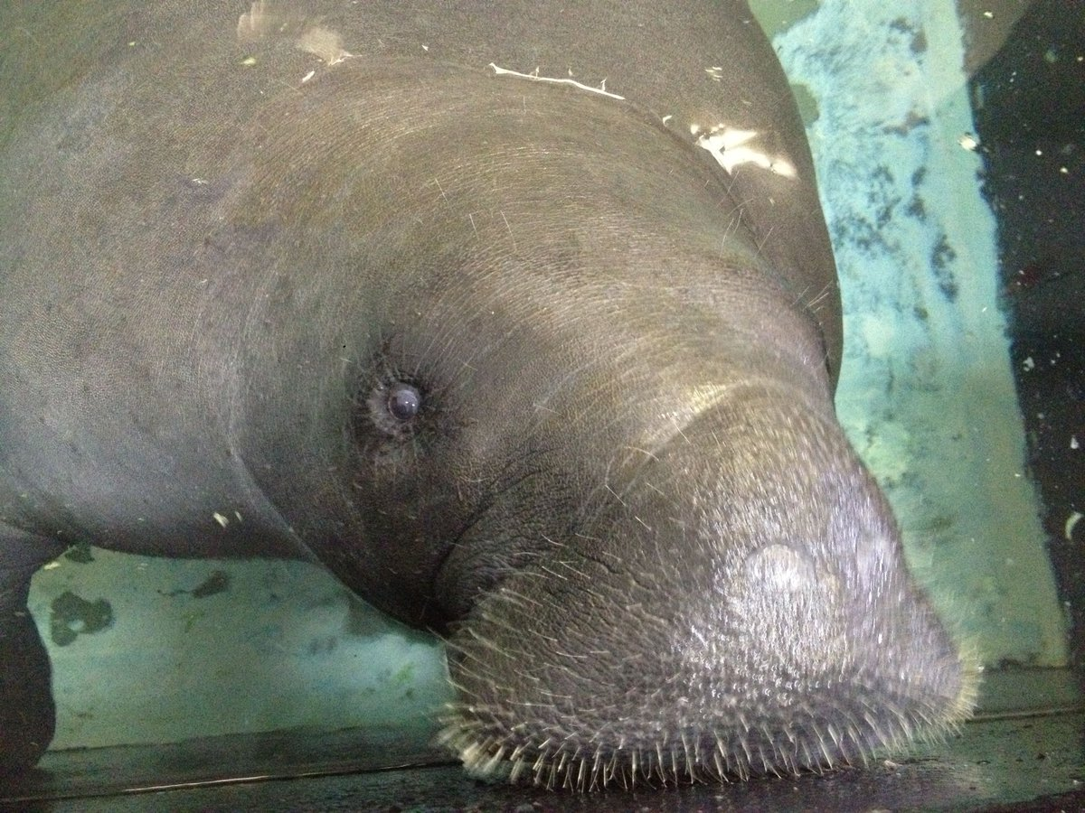 Snooty, oldest Florida manatee in captivity, dies at 69
