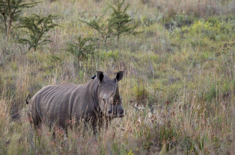 Rhino poaching dips slightly in South Africa