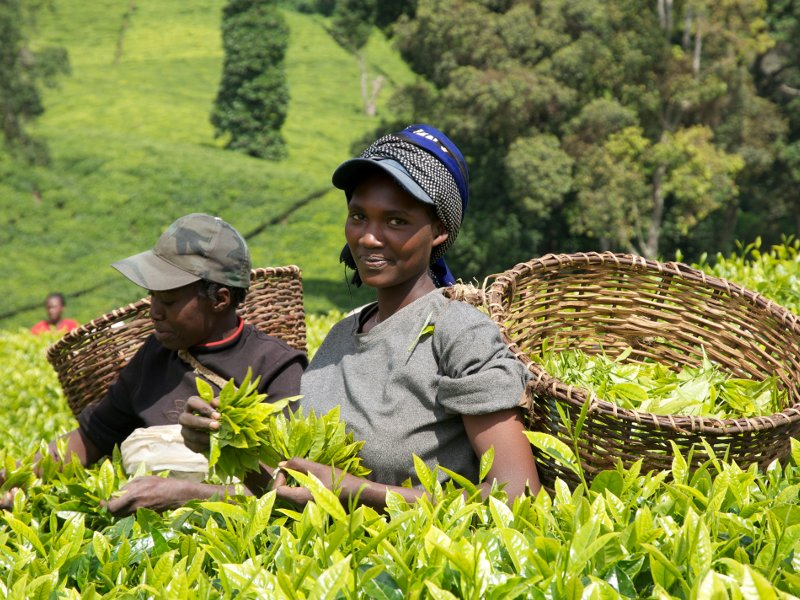 KTDA imports fertiliser for smallholder tea farmers