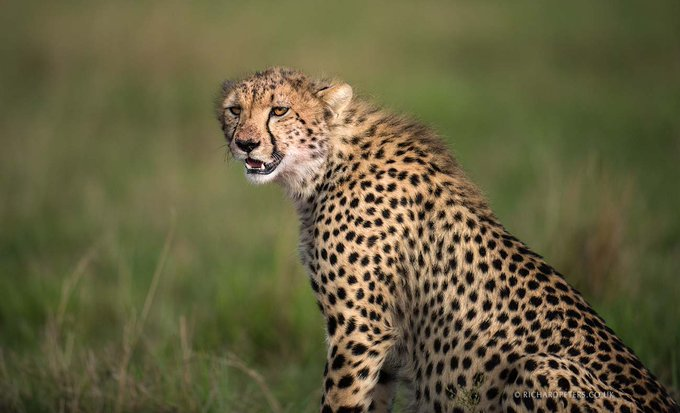 @RichardpPhoto: Cheetah have stunning markings, as I'm sure you'll agree! Even more so when the light caches it just so! #MaasaiMara https://t.co/WnYWcRoC6A