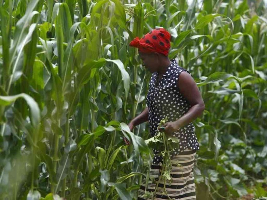 Zambia to export 100,000 tons of maize to EA, bulk meant for Kenya