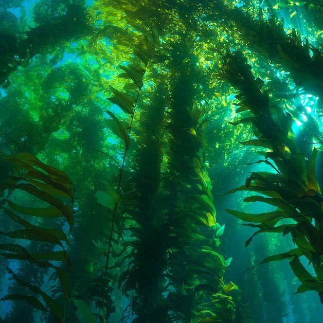 Interest in kelp farming drives state tideland applications