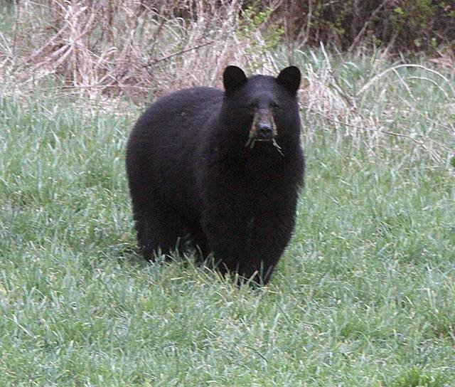 Black bear euthanized after encounters with Idaho campers