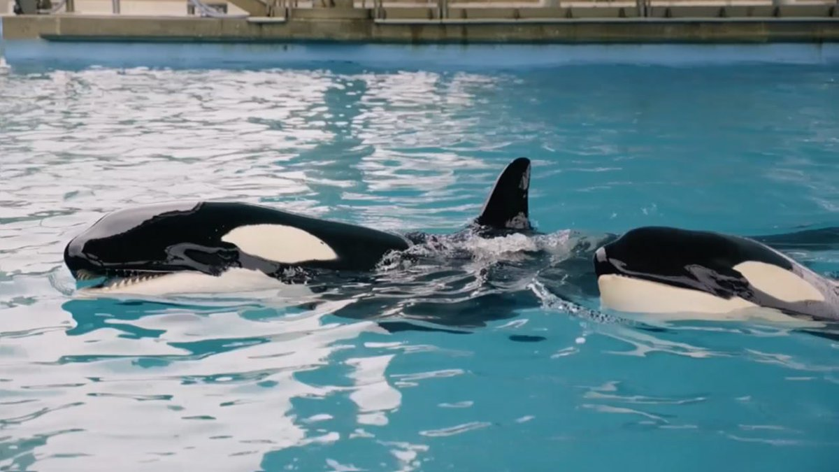 3-month-old killer whale dies at SeaWorld San Antonio