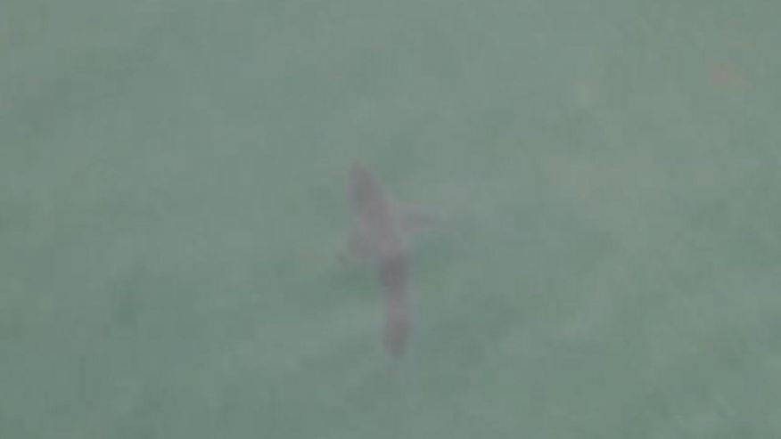 Great white shark lurks off California beach in stunning drone video