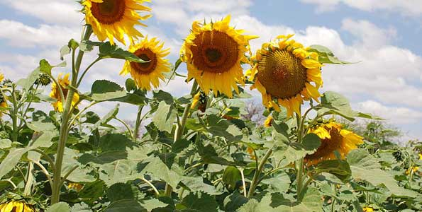 Sunflower growers to reap big from new AMDT programme