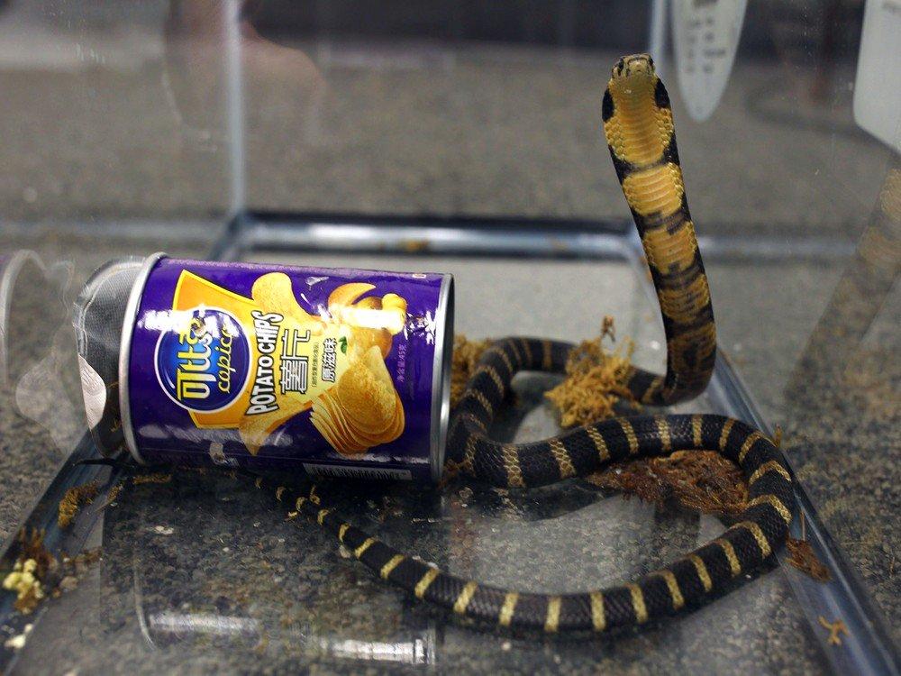 Homem é acusado de contrabandear cobras escondidas em latas de batata frita nos EUA #G1
