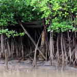Save our mangrove swamps, save our food and facials