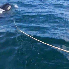 Orca whale repeatedly rams fishing boat, Alaska man says