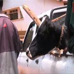 Ofwono Opondo returns Operation Wealth Creation cow