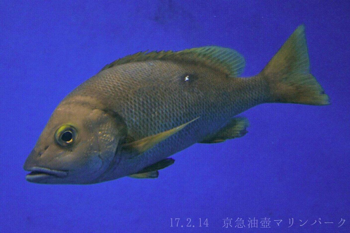 フエダイ〈フエダイ科〉  レア度 自:★★☆☆☆ 水:★★☆☆☆  南日本の海に生息する魚で、この科としては最も北に分布している。黄色いヒレに体の白点が特徴で、幼魚は頬の青い線が目立つ。釣り人からはシブダイの名でよく狙われる高級魚。 https://t.co/wE0oL8Ly9h
