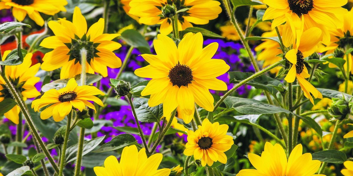Gardening: Sunfinity will look at you — not just sun