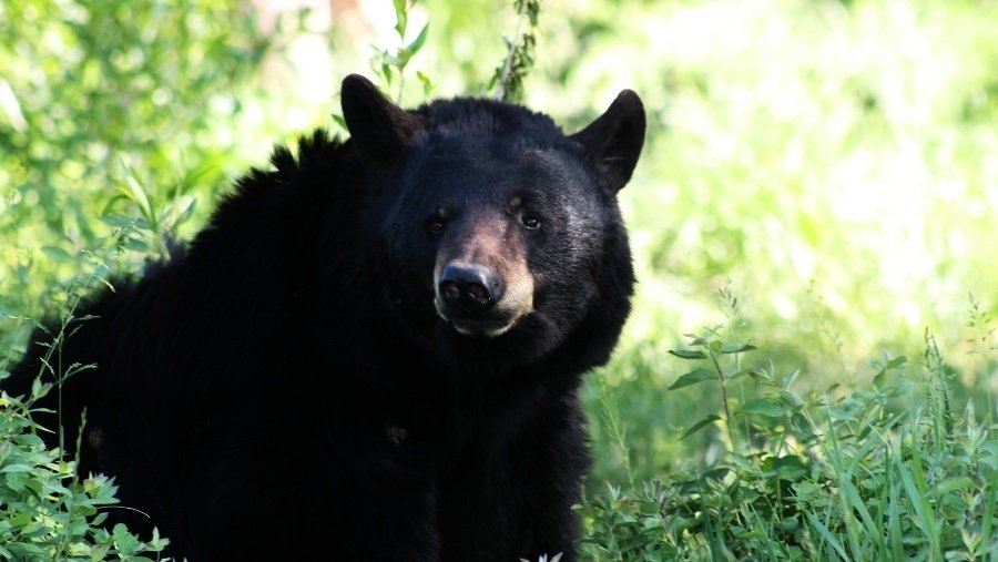 Report: 350-pound bear jumps on tent while woman eats inside