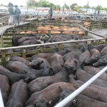 Whanganui livestock market fickle as the weather