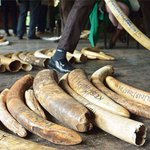 Ivory lands two Kampala men in trouble