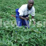 Sweet potato leaves are a healthy vegetable
