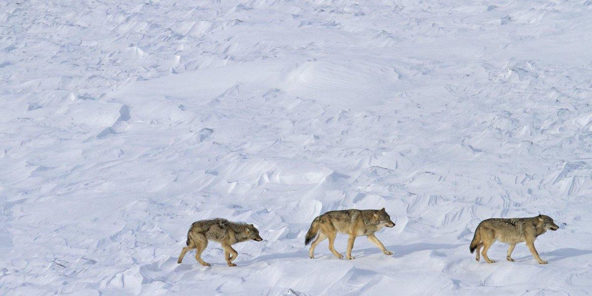 Great Lakes wolves kept on endangered species list