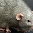 More affected by rat urine disease than Hepatitis B, HIV