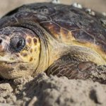 Mating turtles leave tourists stranded on a Greek island for days