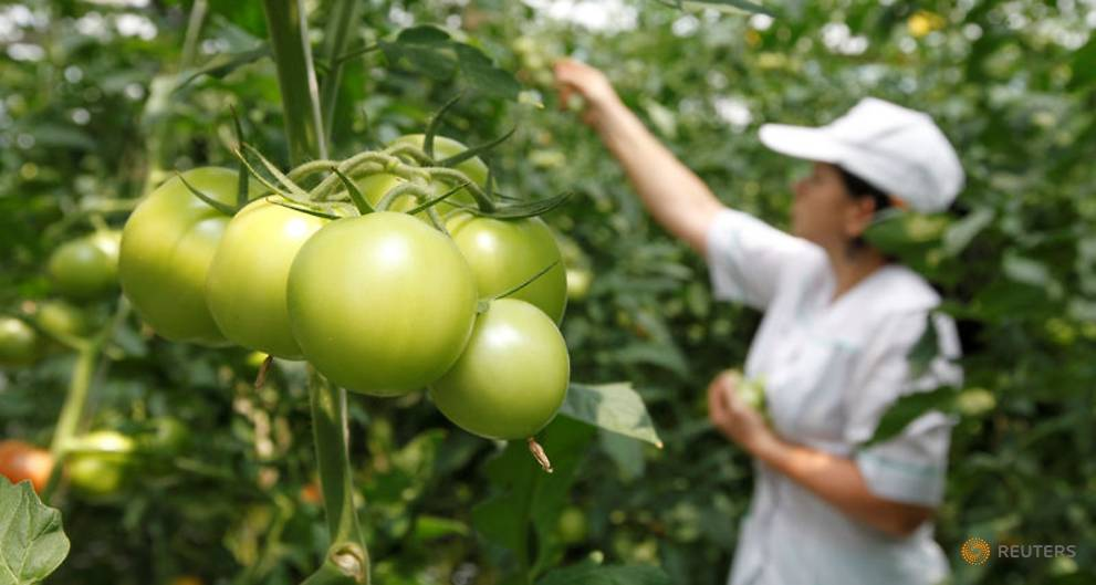 Russian ban on Turkish tomatoes bears domestic fruit