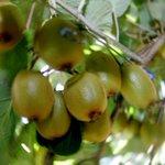 Bumper kiwifruit profit for Bay company