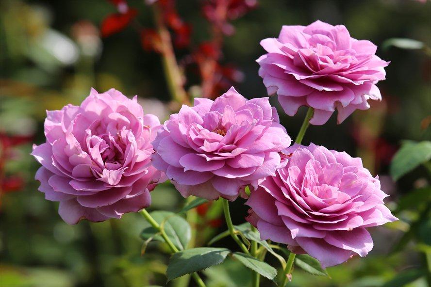 Floribunda Rose 'Novalis'  バラFL) 'ノヴァーリス' 撮影地:花菜ガーデン https://t.co/XWYxGr62AA