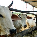 Ban Cow Slaughter Across India, Says Muslim Cleric Umer Ahmed Ilyasi