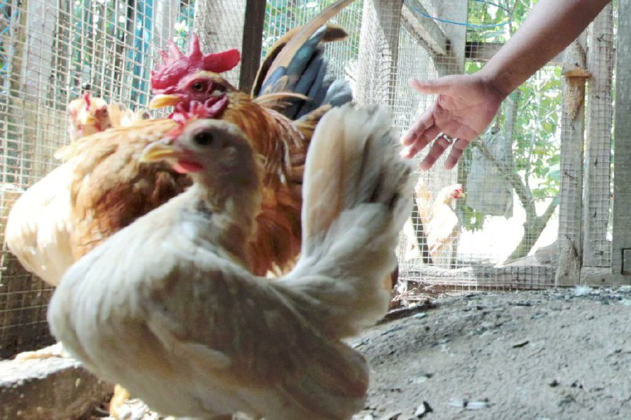 Dutch may need to cull millions of hens after contamination