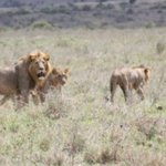 Lions attack and eat herder in the Nairobi National Park