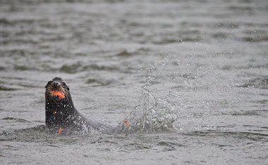 Oregon warns Willamette steelhead face extinction if sea lions' feast continues