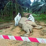 Poachers unlikely to be behind killing of elephant: Sabah Wildlife Dept