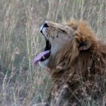Herder,18, Mauled to Death by Lions at Nairobi National Park