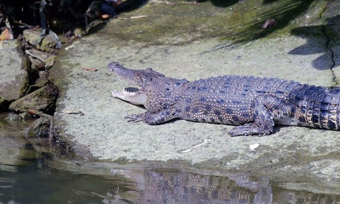 Pasir Ris Park visitors warned about crocodiles after second sighting within a week