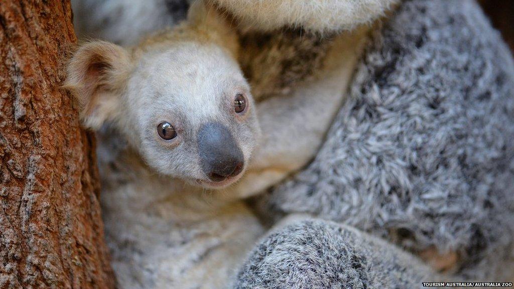 This rare white koala was born at Queensland's Australia Zoo