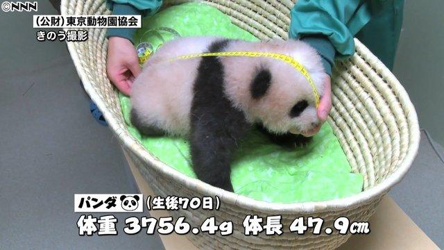 【かわゆい】上野の赤ちゃんパンダ、目の前にあるものを認識できるように?顔を左右に動かすしぐさをしているという。また、前脚にしっかり力が入り、体を起こせるようになってきたとのこと。